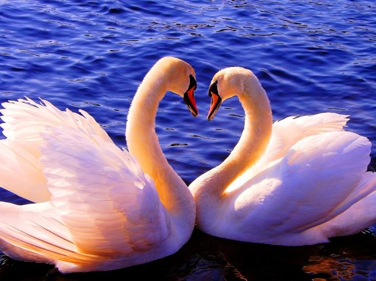 Фото лебедей красивые