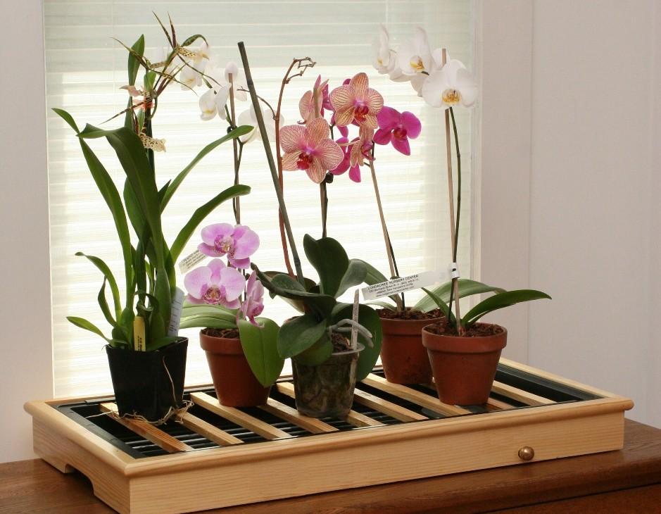 Орхидея по фен шуй 3