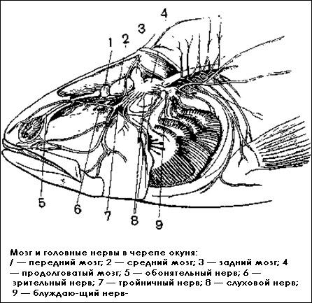 мозга осетровых рыб
