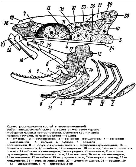 Скелет костной рыбы схема