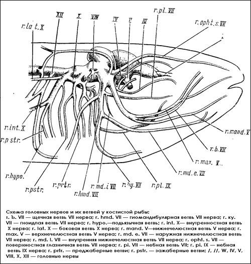 Схема головных нервов и их