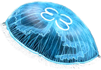Медуза гонионема или крестовичок