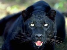 пантера скачать торрент - фото 5
