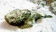 Рыбы бородавчатки