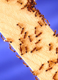 Южноамериканские красные муравьи