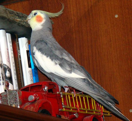 Голос попугая кореллы слушать